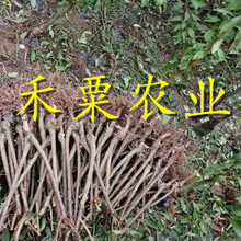 湖北十堰李子苗哪里有賣__2年李子樹苗栽培技術與管理。圖片