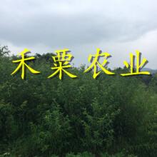 湖北青脆李子树苗发展建议。青脆李子树苗物有所值图片