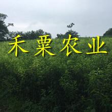 湖南晚熟青脆李苗专业生产基地。晚熟青脆李苗农场图片