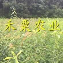 新疆青脆李苗木基地--3公分青脆李子苗種植技術。圖片