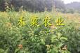 云南晚熟青脆李苗大規格。晚熟青脆李苗生產苗圃