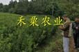 十堰青脆李子苗專業生產,價格實惠。青脆李子苗生產基地