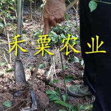 重慶青脆李樹苗品種-重慶巫山青脆李樹苗價格圖片