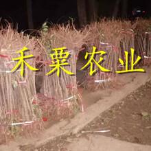 江西青脆李樹苗新品種-江西巴山青脆李苗價格圖片