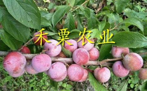 廣安晚熟脆紅李樹苗價格及行情。晚熟脆紅李樹苗銷售