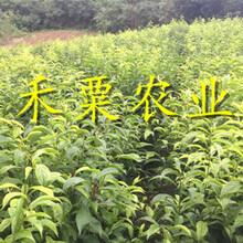 重慶云陽脆紅李苗新品種價格-_嫁接脆紅李子苗批發價格。圖片