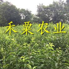 重慶南川脆紅李苗供應-_成活率高脆紅李樹苗產地直銷。圖片