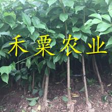 重慶渝北脆紅李苗多少錢一根-_成活率高脆紅李苗廠家直銷。圖片