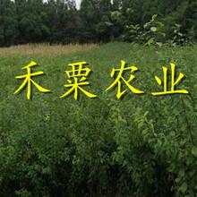 脆红李子苗品种齐全。特价供应图片