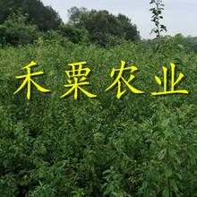 陜西脆紅李子樹苗價格。陜西地區早熟脆紅李苗價格。圖片