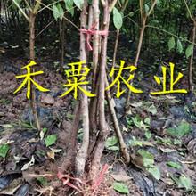 重慶梁平脆紅李苗基地-_矮化脆紅李子樹苗栽培技術與管理。圖片