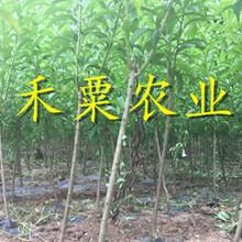 湖北孝感脆紅李苗多少錢一棵-_3年脆紅李子樹苗種植幾年能掛果?圖片