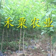 宜昌蜂糖李子苗产量大,见效快。。蜂糖李子苗品种齐全图片