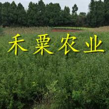 貴州早熟蜂糖李苗新品種、貴州地區二年生蜂糖李苗價格圖片