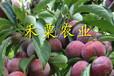 江苏五月脆李子树苗亩产量。五月脆李子树苗生产苗圃