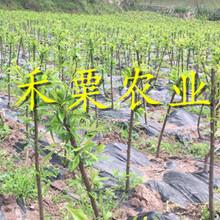 浙江五月脆李子苗免费获取报价。五月脆李子苗农场图片