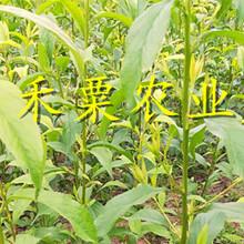 廣西賀州五月脆苗新品種價格、嫁接五月脆李子苗批發報價。圖片