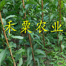 十堰早熟五月脆李树苗一键获取成交价。早熟五月脆李树苗生产苗圃图片