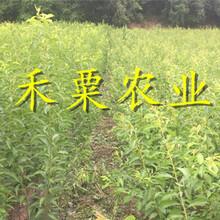 重慶五月脆李樹苗供應_重慶地區2公分五月脆李苗價格。圖片