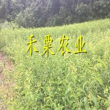 湖南長沙五月脆李苗銷售、嫁接五月脆李子苗廠家直銷。圖片