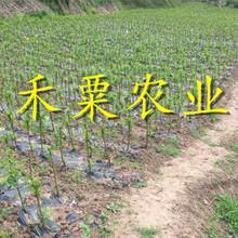 毕节早熟凤凰李树苗今日价格。早熟凤凰李树苗种植基地图片