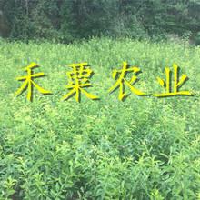 恩施凤凰李子树苗产量大,丰产期长。。凤凰李子树苗品种齐全图片