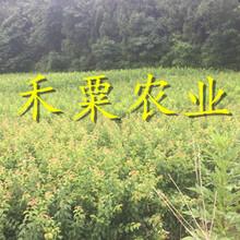 浙江鳳凰李樹苗新品種-_-浙江2019鳳凰李苗價格圖片