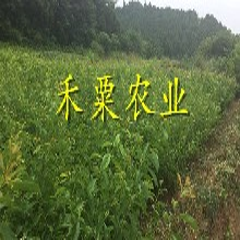貴州銅仁鳳凰李樹苗供應商|、特早熟鳳凰李子苗批發價格。圖片