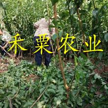 湖北十堰鳳凰苗新品種介紹|、正品鳳凰李子樹苗產地直銷。圖片