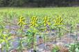 重庆李子苗培育基地。李子苗出售