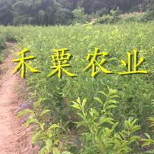 貴州安順李子苗供應商、貴州李子樹苗批發價格超低。圖片