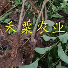 新疆李子苗銷售、成活率高青脆李樹苗價格超低。圖片