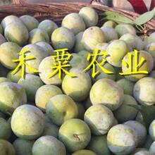 貴州銅仁李子苗供應__1-5公分李子樹苗基地報價。圖片
