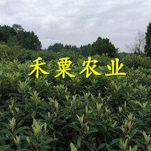 四川成都枇杷苗供应商_3公分大五星枇杷苗价格公道。图片