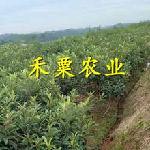 毕节枇杷树苗批发及报价。枇杷树苗价格图片