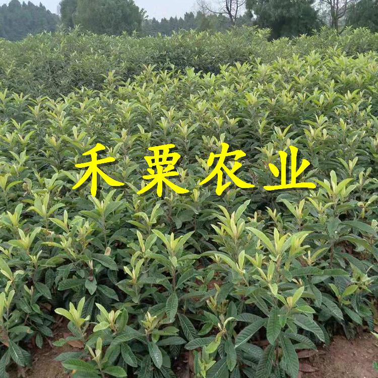 茂縣枇杷苗批發和價格。枇杷苗品種介紹