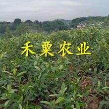 江蘇枇杷苗供應商_優質大五星枇杷苗價格實惠。圖片