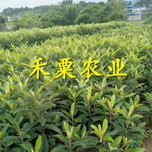 四川枇杷樹苗供應商_早熟大五星枇杷樹苗培育基地。圖片