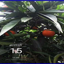 广东长叶香橙种苗价格图片