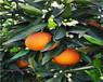 湖南銀豐園藝長葉香橙種苗價格香橙種苗種植