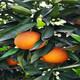 湖北长叶香橙芽穗批发图