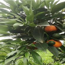 四川长叶香橙种植技术香橙种苗种植图片