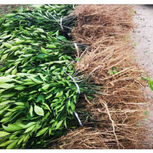 江蘇銀豐園藝長葉香橙基地批發香橙種苗種植圖片