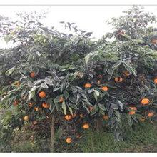 南寧長葉香橙種植圖片