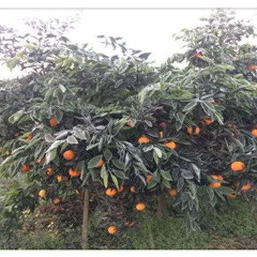 江蘇長葉香橙品種種苗種植