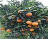 四川長葉香橙種植基地香橙種苗種植