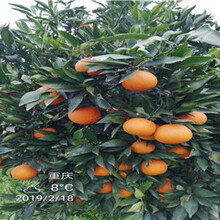 江津长叶香橙种苗香橙种苗种植图片