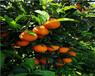 長葉香橙芽穗批發價格香橙種苗種植