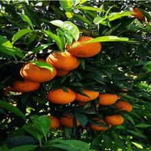 广西长叶香橙批发香橙种苗种植图片