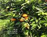 廣東長葉香橙種植技術香橙